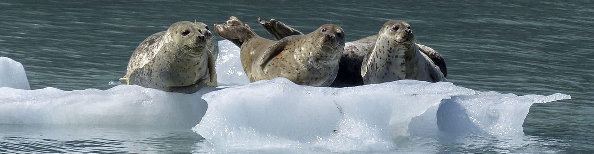 כלבי ים נחים על קרחון