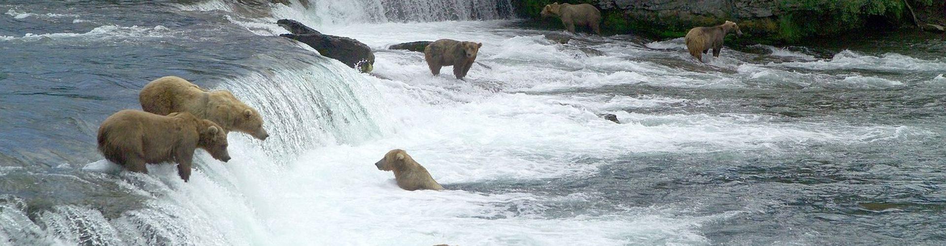 דובים חומים מנסים לתפוס דגים